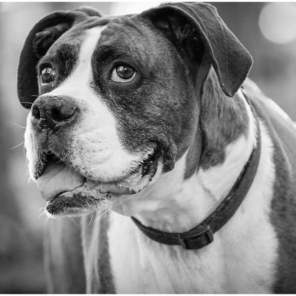 Big Joe, a sweet and tender boxer {Flagstaff Pet Photography-Ginger Sessions}