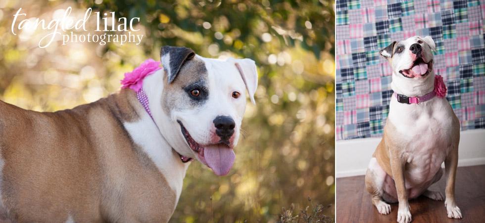 arizona-dog-rescue-pitbull003