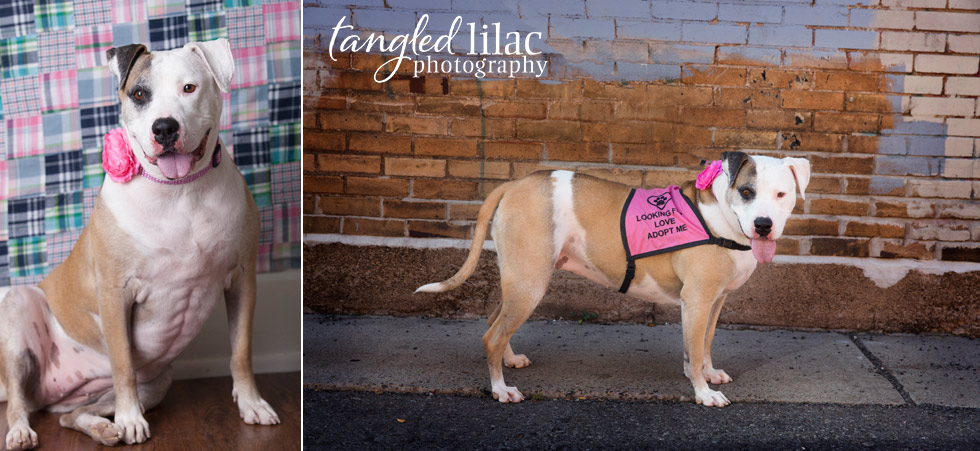arizona-dog-rescue-pitbull006