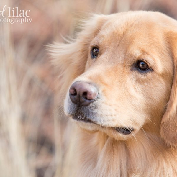 Golden Retriever Fun {Arizona Pet Photography}