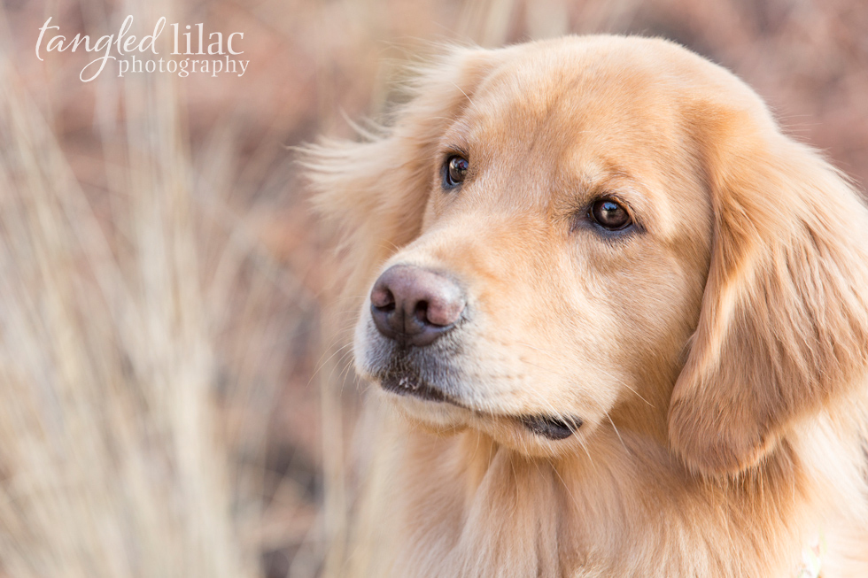 golden-retriever-dog004