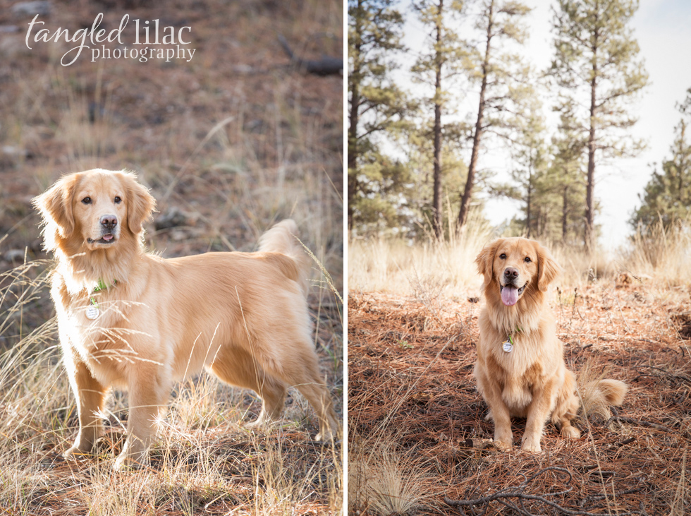 golden-retriever-dog006