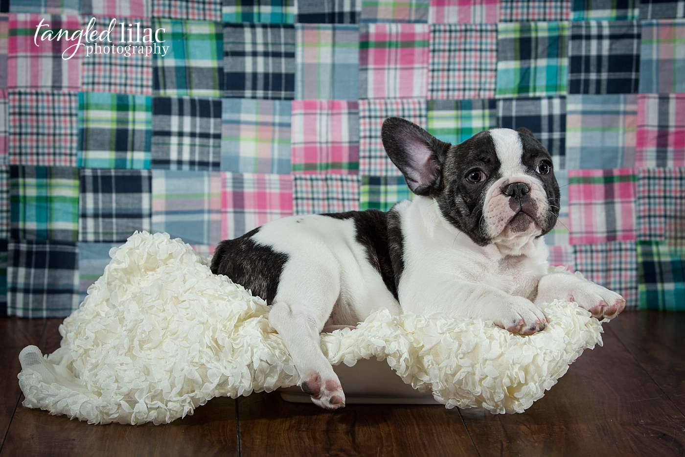 French bulldog puppy during a studio shoot in Los Angeles with plain backdrop and lace blanket