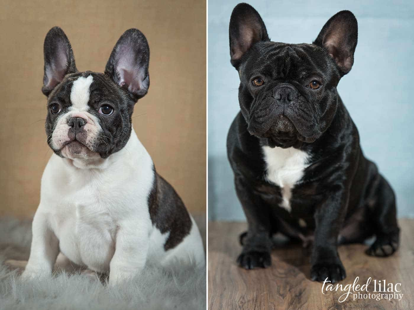 French Bulldog puppies at a indoor pet photography session with a brown and blue backdrop