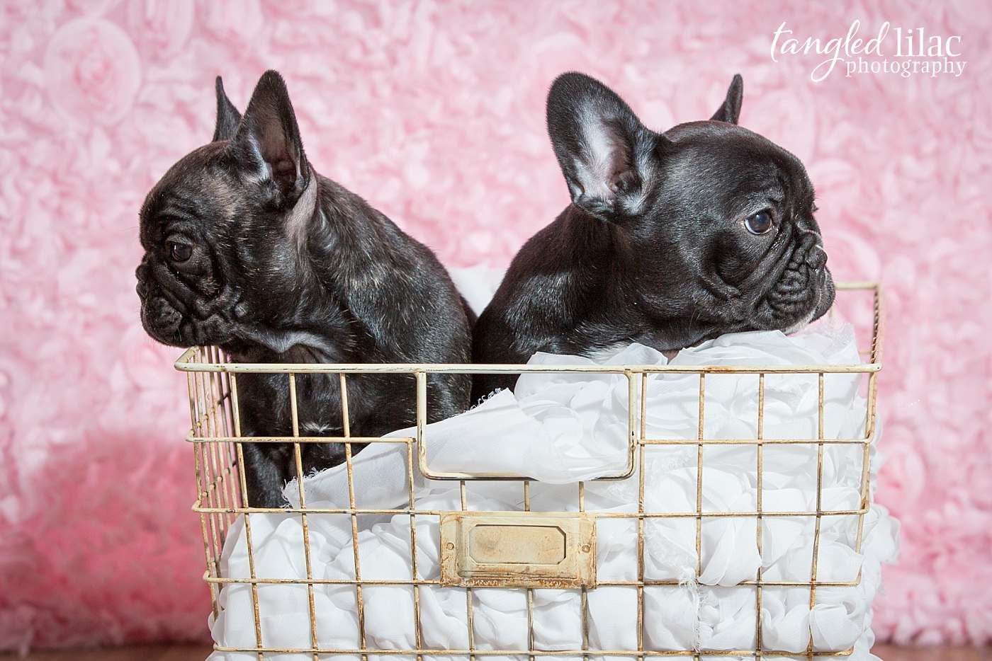 Two french bulldog puppies in a basket with pink backdrop