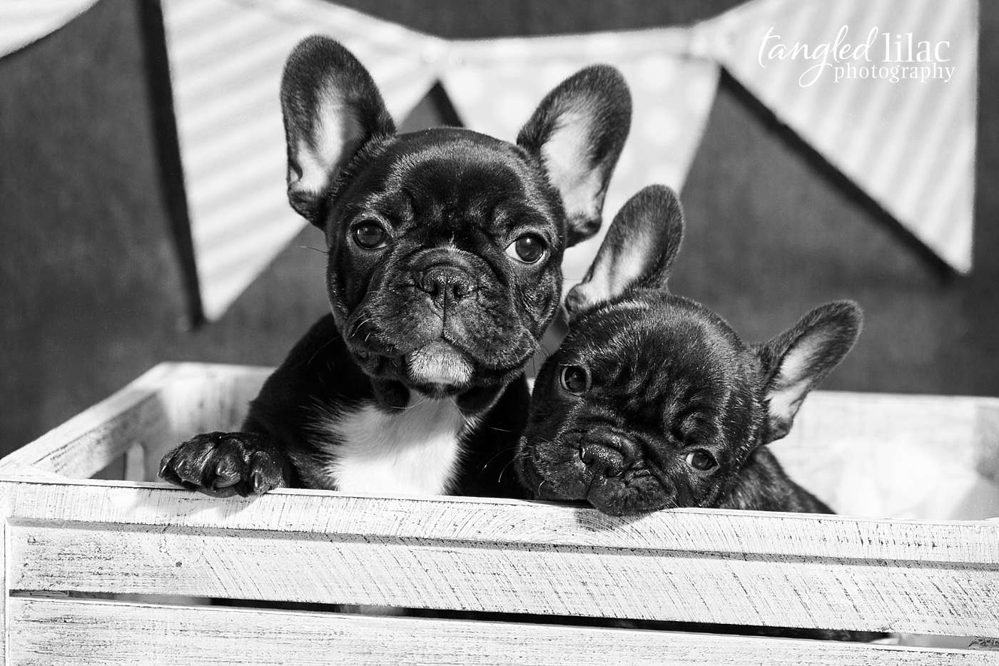 Black and White portrait of two french bulldog puppies