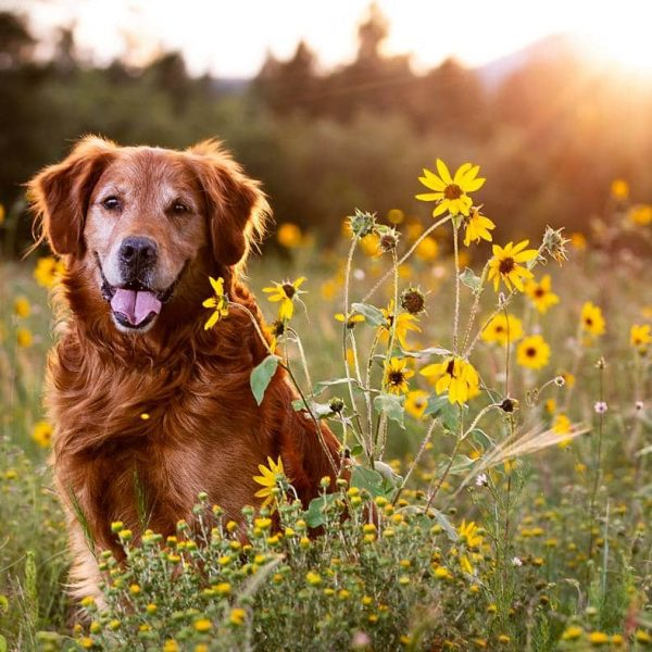 A Sunflower Session with Dutch the Golden Retriever | Buffalo Park Flagstaff