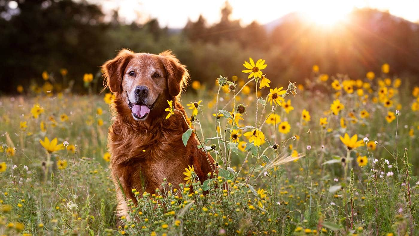 Rescue Golden Retriever in sunflowers smiling at the camera and dog photographer