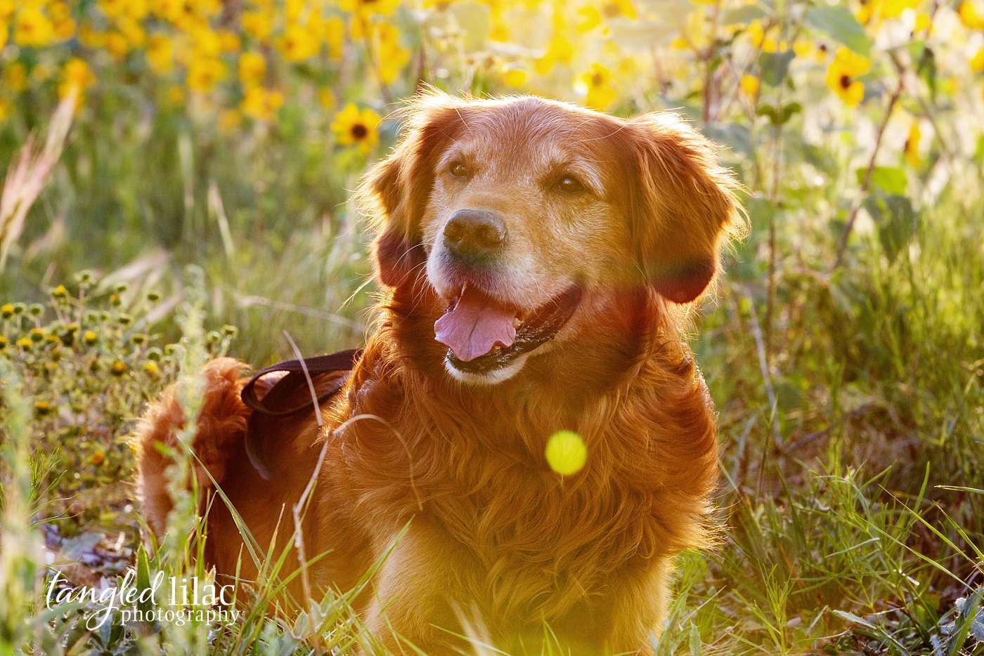 A smiling golden retriever in sunflowers right before the sun goes down being during a dog photography session