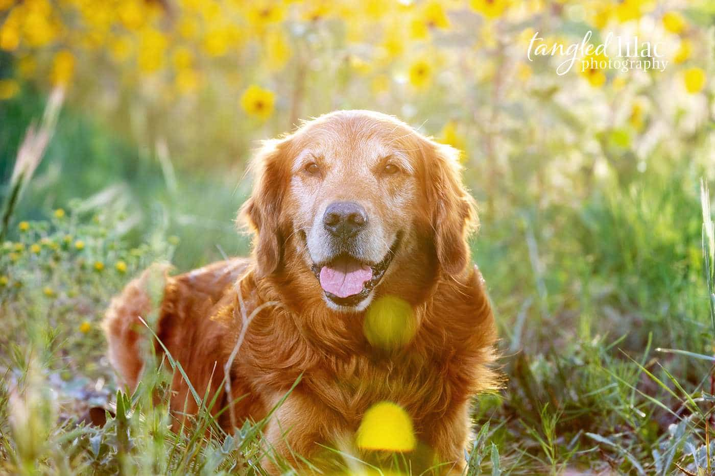 Old dog laying in sunflowers thinking about how much he loves his owner