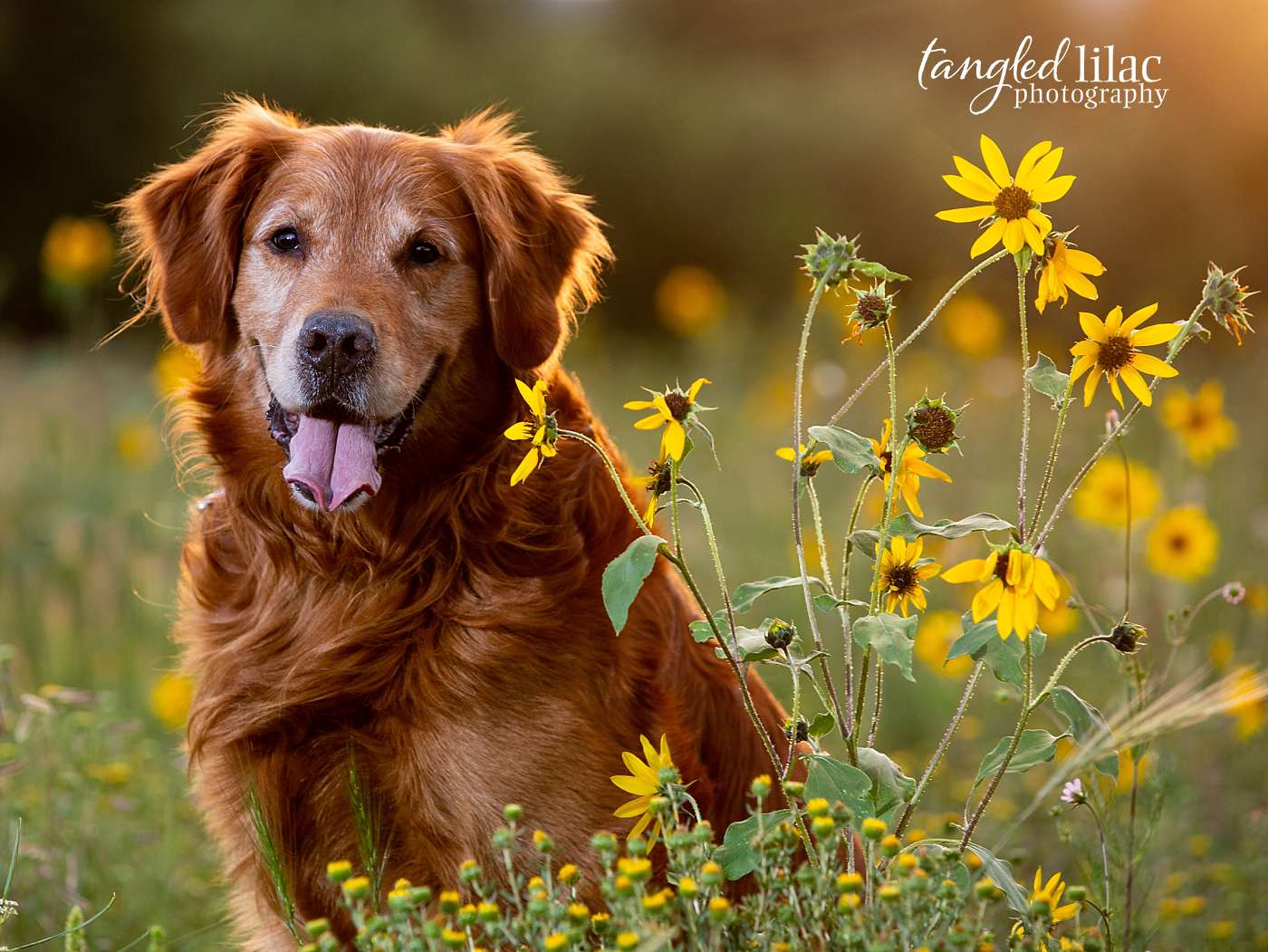 Old Mature Golden Retriever dog in sunflowers smiling at dog photographer golden hour