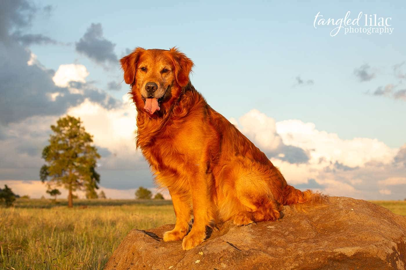 Dog during sunset sitting on a boulder and looking into the sun at the golden hour
