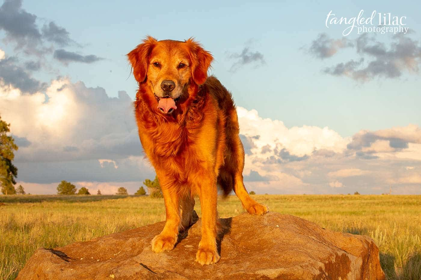 Golden Retriever rescue smiling at the camera during a pet photography session