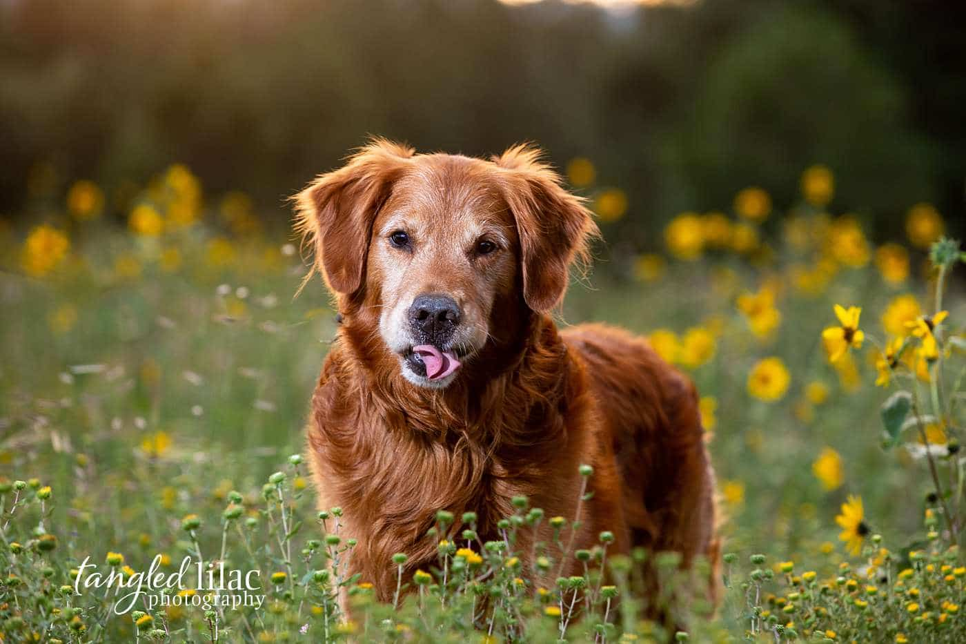 Golden Retriever with tongue out smiling at the photographer