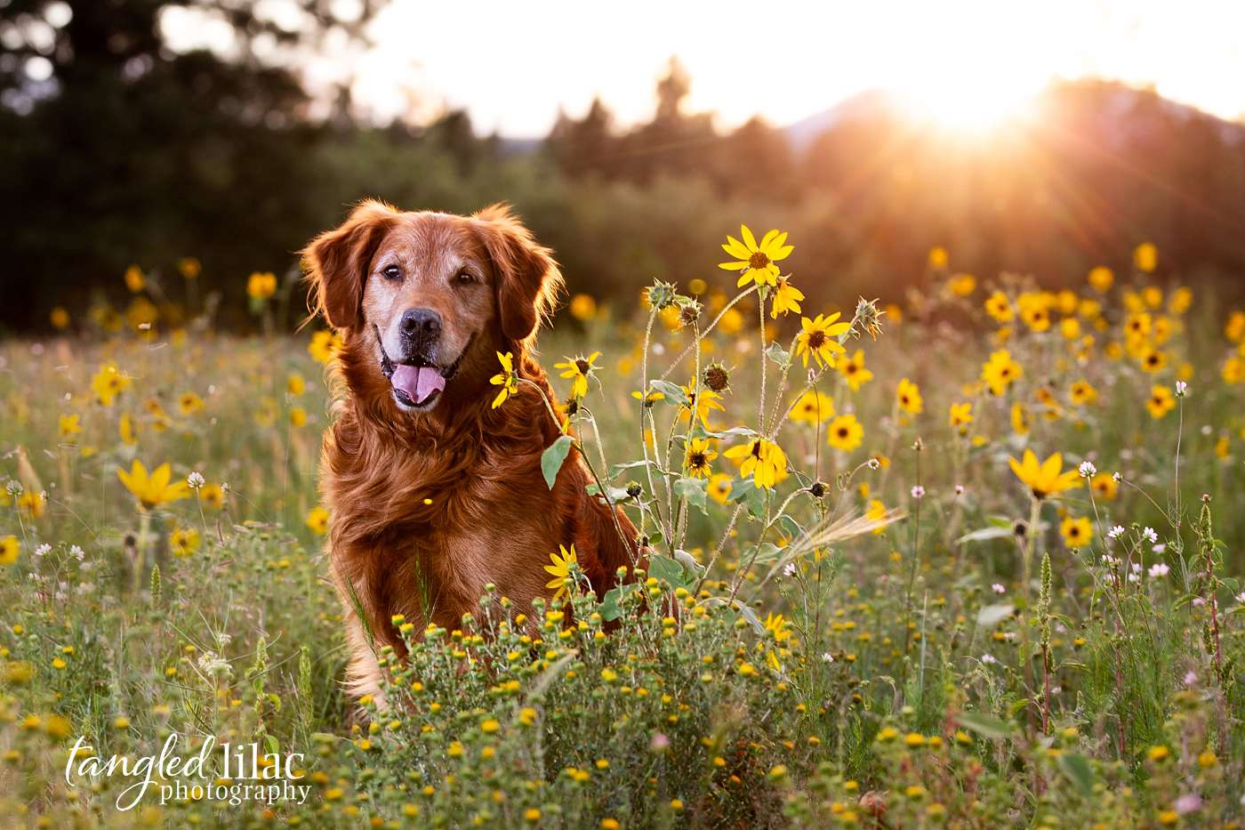 Happy old dog at golden hour in a field of flowers