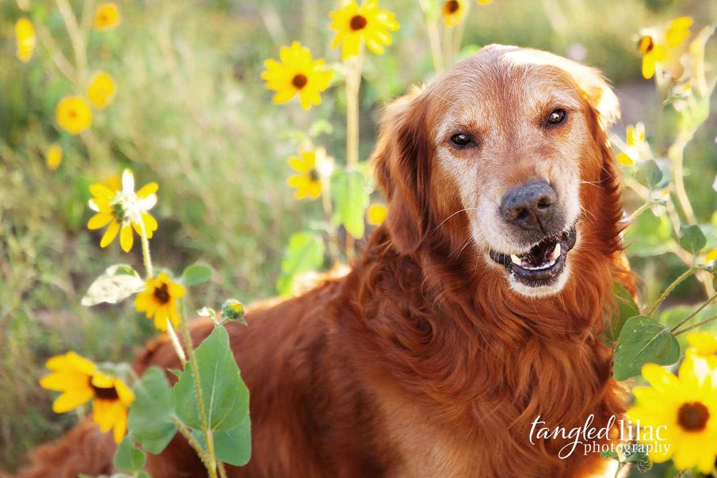 Old retriever laughing at camera in sunflowers