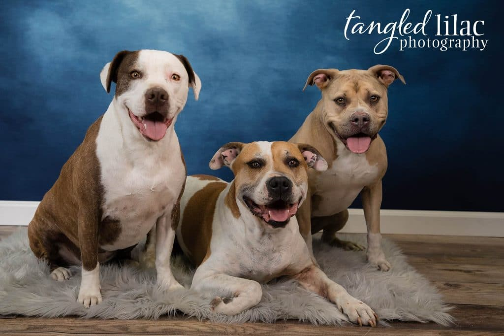 Pit bulls during a pet photography photo shoot on blue background by Melissa Dunstan Pet Potographer